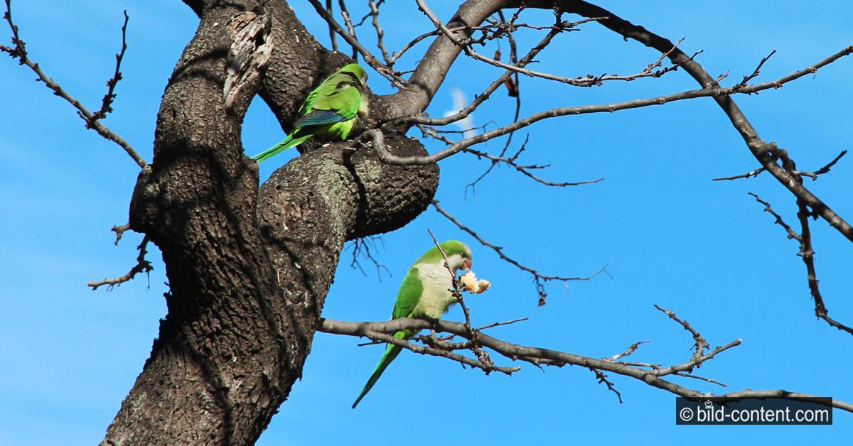 Freilebende Papageien in Barcelona