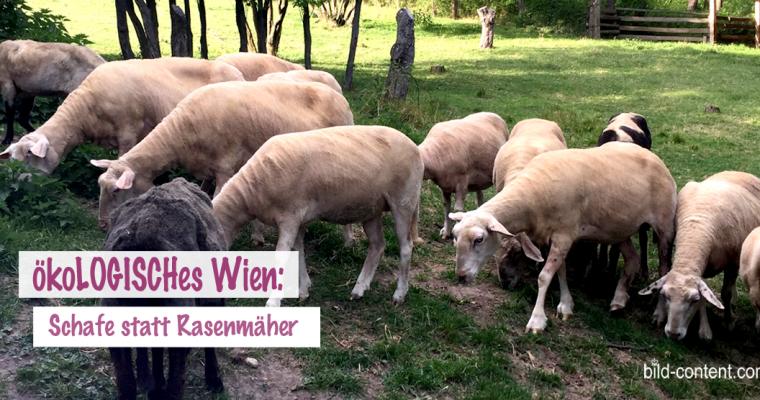 Therapiehelfer und Rasenmäher: Schafe in Wien