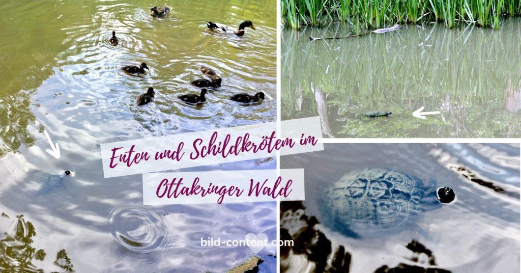 Entdeckung des Tages am 11. Juni 2020: Diese Schildkröte, die entspannt in einem Tümpel in Wien Ottakring badet.